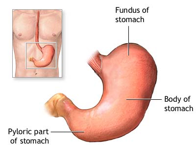 The stomach is a sac-l...